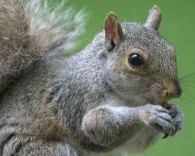 Squirrel Wildlife Control
