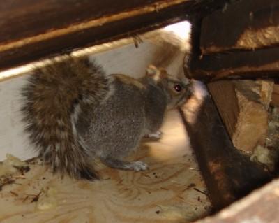 Squirrels in the Attic Davidson NC
