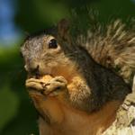 Denver NC Squirrel Attic