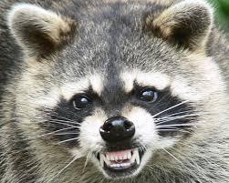 Raccoon Removal Charlotte NC Wildlife Control
