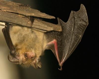 Bat Removal Indian Trail Stallings Hemby Bridge Monroe NC