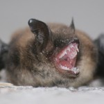 Lake Wylie SC Bat Removal