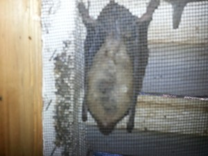 Bat Removal Davidson NC, Cornelius, Huntersville