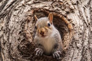 Denver Squirrel Removal