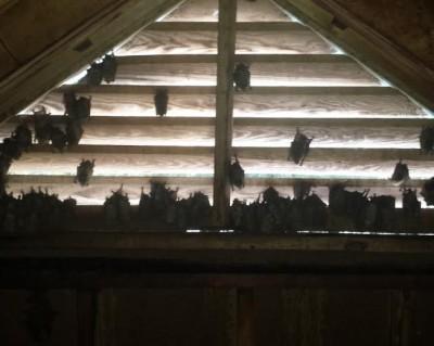 Bat Removal Greensboro NC