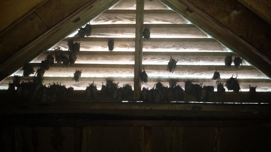 removal of bats from greensboro attic general pest co